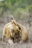 Afrykański lew w Kruger parku narodowym, Południowa Afryka Fotografia Royalty Free