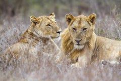 Afrykański lew w Kruger parku narodowym, Południowa Afryka Zdjęcia Royalty Free