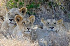 Afrykański lew w Parkowym Południowa Afryka Zdjęcia Stock