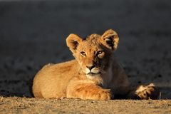Afrykański lwa lisiątko Zdjęcia Royalty Free