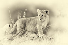 Afrykański lwa lisiątko & x28; Panthera leo& x29; , park narodowy Kenja Vintag Fotografia Stock