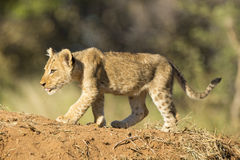 Afrykański lwa lisiątko Południowa Afryka (Panthera Leo) Obraz Royalty Free