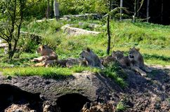Afrykański lwa Panthera Leo społecznie odpoczywa zdjęcie royalty free