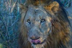 Afrykański lwa portret obrazy stock