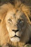 Afrykański lwa portret Południowa Afryka (Panthera Leo) Obraz Royalty Free