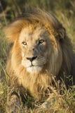 Afrykański lwa portret Południowa Afryka (Panthera Leo) Zdjęcie Royalty Free
