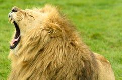 Afrykański lwa poziewanie Zdjęcia Royalty Free