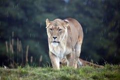 afrykański lwica Zdjęcie Royalty Free