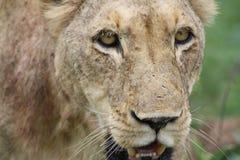 Afrykański lwicy zbliżenie patrzeje ciebie Fotografia Royalty Free