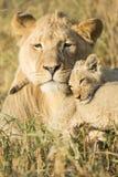 Afrykański Męski lew i lisiątko Południowa Afryka (Panthera Leo) Obrazy Royalty Free