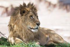 Afrykański męski lew kłaść w cieniu na równinach w Tanzania, Afryka obraz stock