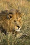 Afrykański męski lwa portret Obraz Stock