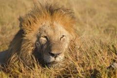 Afrykański męski lwa portret Zdjęcie Royalty Free