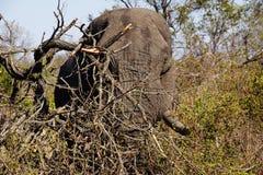 Afrykański męski słoń je w krzaku Obrazy Royalty Free