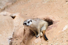afrykański meerkat suricata suricatta dziki zdjęcia stock