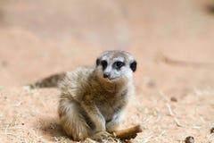 afrykański meerkat suricata suricatta dziki obraz royalty free