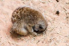 afrykański meerkat suricata suricatta dziki fotografia stock