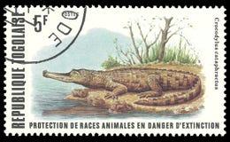 Afrykański Nikły snouted krokodyl Obrazy Royalty Free