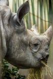 Afrykański nosorożec jeść Fotografia Royalty Free