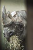 Afrykański nosorożec jeść Obrazy Stock