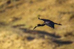 Afrykański openbill w Kruger parku narodowym, Południowa Afryka Obraz Royalty Free