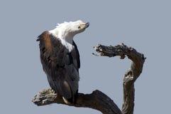afrykański orła ryba haliaeetus vocifer Zdjęcia Royalty Free