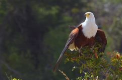 afrykański orła ryba haliaeetus vocifer Zdjęcia Stock