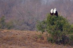 afrykański orła ryba haliaeetus vocifer Zdjęcie Stock