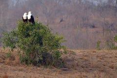 afrykański orła ryba haliaeetus vocifer Obraz Stock