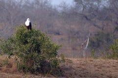 afrykański orła ryba haliaeetus vocifer Obrazy Stock