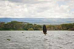 Afrykański orzeł, ptak Kenya zdjęcie stock