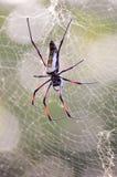 Afrykański pająk rozmiar Zdjęcie Royalty Free