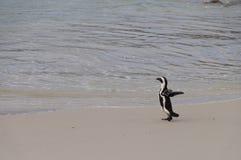 Afrykański pingwin chodzi morze, Południowa Afryka Fotografia Royalty Free