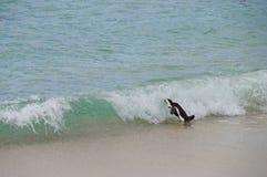 Afrykański pingwin chodzi morze, Południowa Afryka Obraz Royalty Free