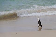 Afrykański pingwin chodzi morze, Południowa Afryka Obraz Stock