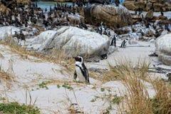 Afrykański pingwin lub Footed pingwin, Spheniscus demersus przy głazami, Wyrzucać na brzeg, Południowa Afryka Fotografia Royalty Free