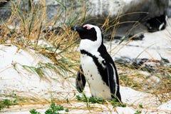 Afrykański pingwin lub jackass pingwin przy głazami Wyrzucać na brzeg Południowa Afryka Zdjęcia Stock