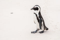 Afrykański pingwin na głaz plaży Zdjęcia Royalty Free