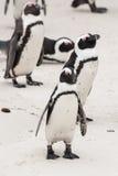 Afrykański pingwin na głaz plaży Obrazy Royalty Free