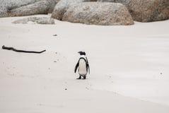 Afrykański pingwin na głaz plaży Zdjęcie Stock
