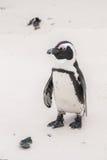 Afrykański pingwin na głaz plaży Zdjęcia Stock