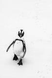 Afrykański pingwin na głaz plaży Obrazy Stock