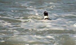 Afrykański pingwin na plaży Zdjęcie Royalty Free