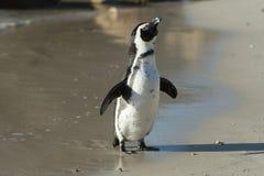 Afrykański pingwin na plaży Obraz Stock