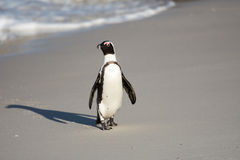Afrykański pingwin na plaży Obrazy Royalty Free
