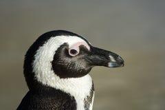 Afrykański pingwin na plaży Obraz Royalty Free