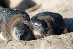 Afrykański pingwin na plaży Zdjęcia Royalty Free
