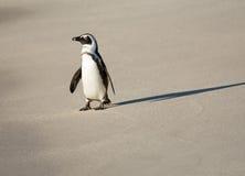 Afrykański pingwin na plaży Zdjęcie Stock