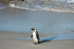 Afrykański pingwin na plaży Fotografia Stock