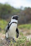 Afrykański pingwin na plaży Zdjęcia Stock